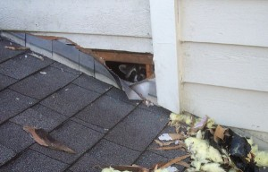 Removing Raccoons Safely