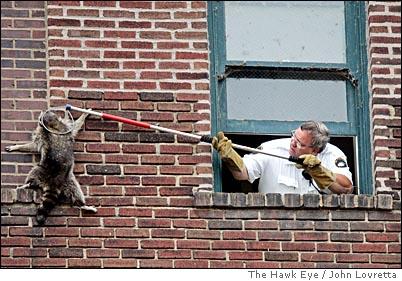 Suburban Raccoons 187 Blog Archive Can Raccoons Climb Brick