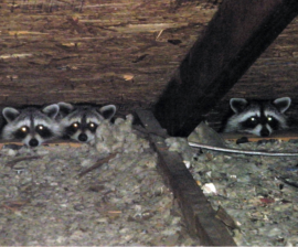 Raccoons in the Attic - Guide To Humane Raccoon Removal
