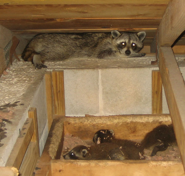 Suburban Raccoons Raccoon Roundworm Archives Suburban