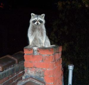 raccoon chimney