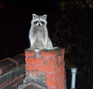 raccoon chimney