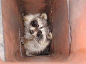 Raccoon in Chimneys