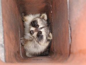Raccoon in Chimneys