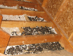 Suburban Raccoons 187 Blog Archive Can Raccoons In The Attic