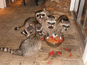 raccoons are the best at eating the leftovers