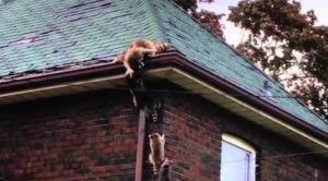 can raccoons climb brick walls