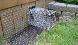 one way trap doors for raccoons
