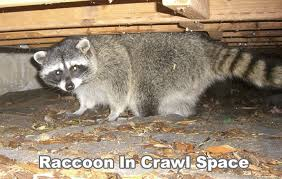 tsccoons under floorboards